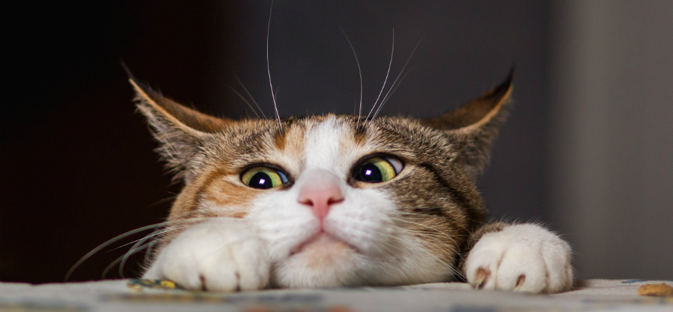 kat die net over de rand van de tafel kijkt