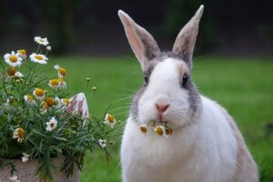 rabbit, dutch, animal