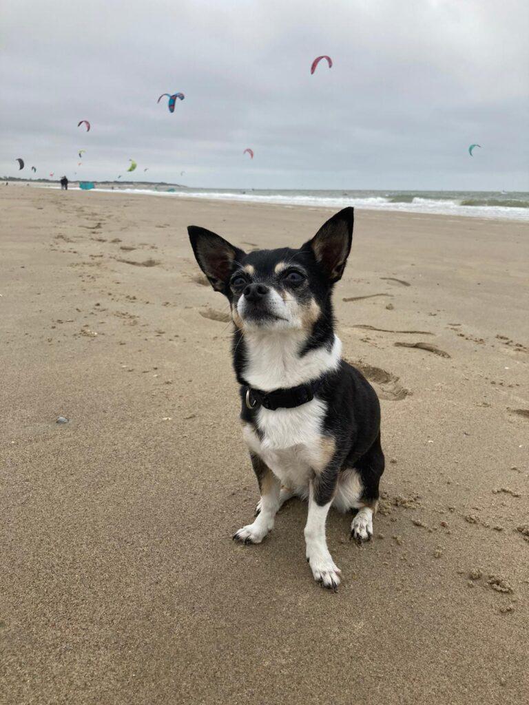 Chihuahua Nikkie zittend op het brede strad van Zeeland.
